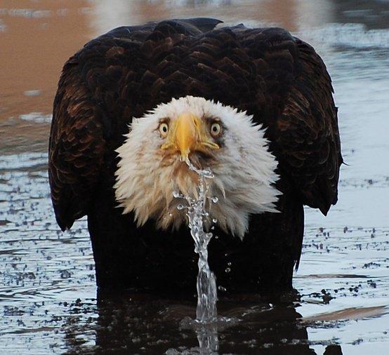 wat-eagle-reddit-murica